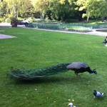 Holland Park Peacock