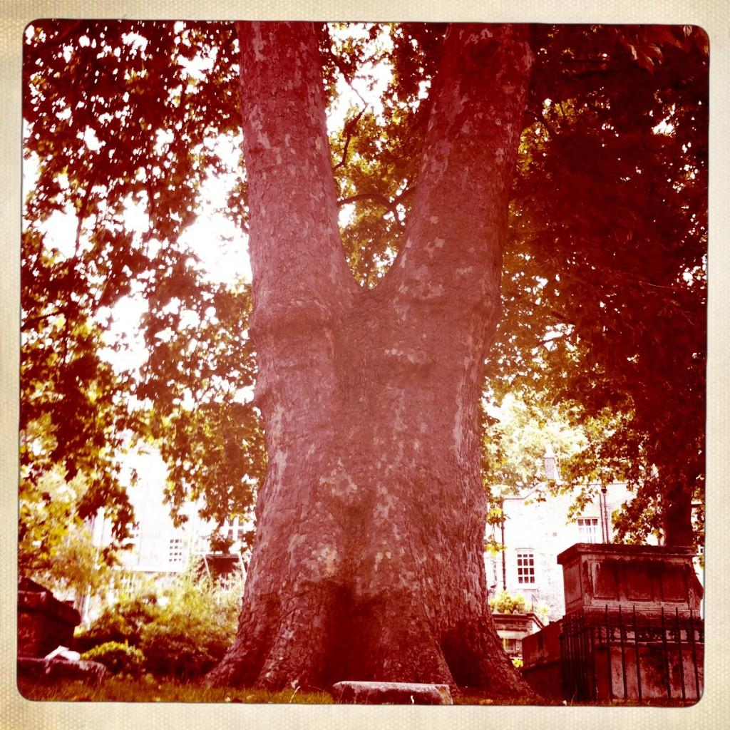 St. George's Garden, Siamese Tree