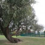 Finsbury Park reclining tree